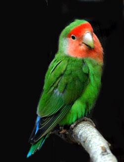 peach faced lovebird 2 بهترین طوطی و پرنده خانگی برای کودکان