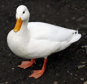 white mallard duck photo photo of white mallard duck photo location of ...  Duck Duck