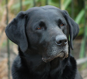 Free Photo of Black Labrador Retriever