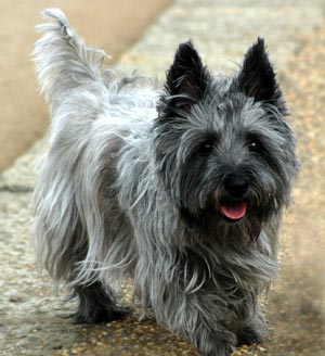 Cairn Terrier Dog Photo