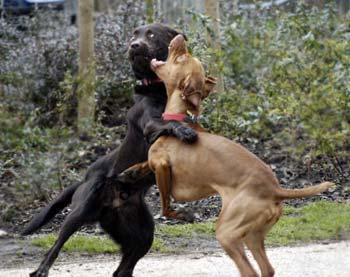 Pitbull Dogs Fighting