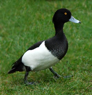 Black And White Duck Ktrdecor Com