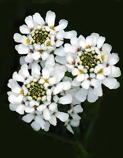 Flower Picture showing Candytuft