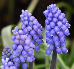 Flower Picture showing Grape-Hyacinth
