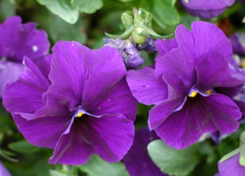Flower Picture showing Pansy
