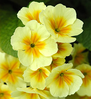 Flower Picture showing Primula