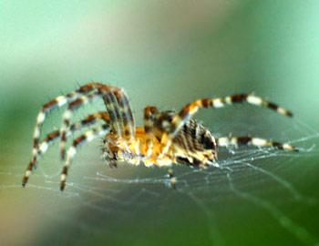 spider online