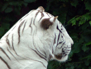 "the white tiger 2 essay  ""the white tiger"" by aravind adiga is a piece of literature that talks about india left and righta book that can be half fiction half true it talks about the fortunate and the unfortunate, the rich and the poor."