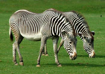 Grevys Zebra Photo